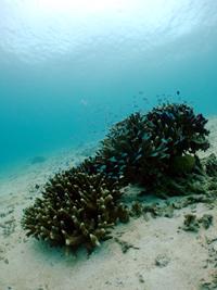 沖縄 真栄田 サンゴ