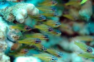 沖縄 真栄田 サンゴにつく魚