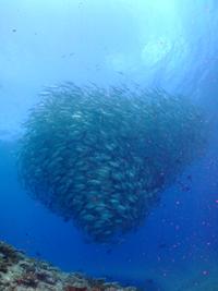 沖縄 粟国島 魚群