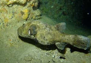 沖縄 ダイビング 糸満 フグ