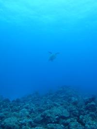 沖縄 ダイビング 糸満 カメ