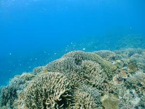 水納島と瀬底島のサンゴ