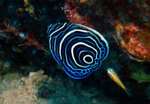 水納島と瀬底島のタテジマキンチャクダイ幼魚