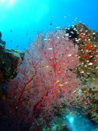 水納島と瀬底島のソフトコーラル