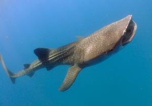 水面に向かって泳ぐジンベエザメ