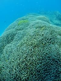 万座の枝サンゴも元気です