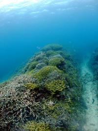 万座の生き生きしたサンゴ