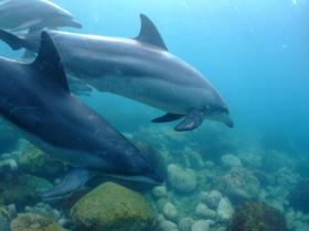 野生のイルカが住む御蔵島の海