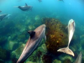 御蔵島のハンドウイルカ